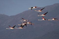 25kerkini-flamingo